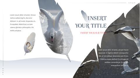 Swan Powerpoint Presentation_05