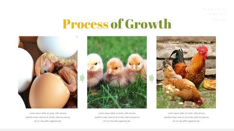 PoultryFarm Simple PowerPoint Templates_03