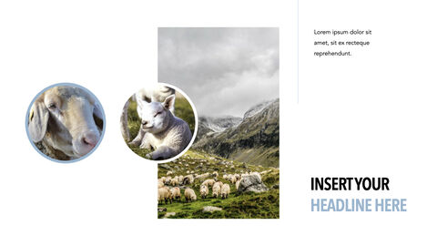 Sheep PowerPoint for mac_17