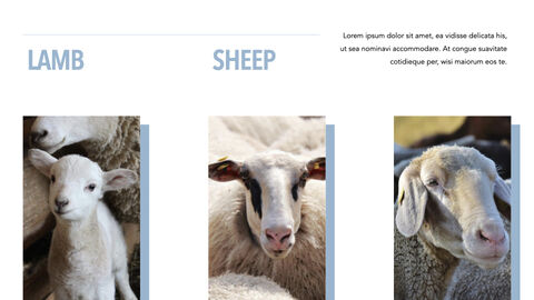 Sheep PowerPoint for mac_19