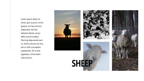 Sheep PowerPoint for mac_25