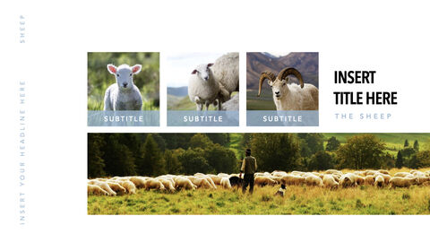 Sheep PowerPoint for mac_27