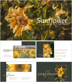 Sunflower PowerPoint Presentation Templates_35 slides